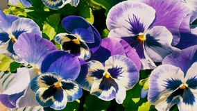 Bright violet pansies flowers background Royalty Free Stock Images