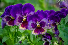 Bright violet pansies in the garden Royalty Free Stock Images