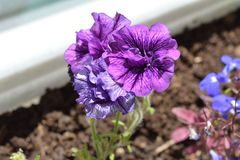 Bright violet and purple petunia flowers grow in soil in flowerpot. On the balcony royalty free stock photo