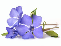 Bright violet wild periwinkle flower Stock Images
