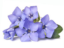 Bright violet wild periwinkle flower. Spring bright violet wild periwinkle flower isolated on white background Stock Photography