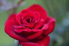 Vivid Red Rose with Dew Drops. Bright and vivid red rose, lightly dappled with dew drops, against an unfocused green background royalty free stock image