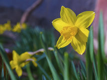 Bright vivid yellow daffodils flowers blooming royalty free stock photos