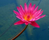 Bright Water Lily. In a fish pond Royalty Free Stock Photography