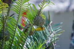A bright weaverbird on the bush. Birds of Africa. stock image