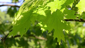 Bright wet oak tree branch twig leaves move in morning wind. Bright wet decorative oak tree branch twig leaves move in early morning wind.n stock footage