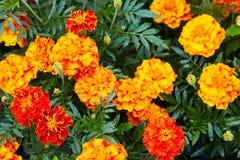 Bright wet orange and yellow marigold flowers closeup with rain drops. stock photo