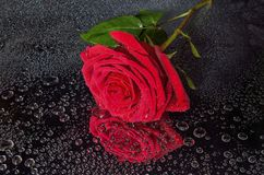 Bright wet red rose with water drops on black background. Single bright wet red rose with leaves and a lot of shiny water droplets on petals and black background Royalty Free Stock Photo