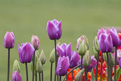 Bright Wet Tulips on Green Background Stock Photo