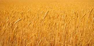 Bright wheat stock photo