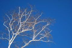 Bright white birch trees against a deep blue late winter sky 2. Birch trees trees with white and brown bark, leafless trees stock images
