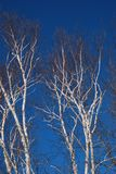 Bright white birch trees against a deep blue late winter sky 2. Multiple birch trees trees with white and brown bark, leafless trees stock photo