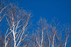 Bright white birch trees against a deep blue late winter sky  3. Multiple birch trees trees with white and brown bark, leafless trees Royalty Free Stock Image