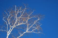 Bright white birch trees against a deep blue late winter sky. Two birch trees trees with white and brown bark, leafless trees royalty free stock photography