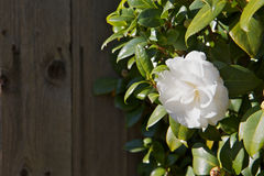 Bright White Camellia Stock Photos