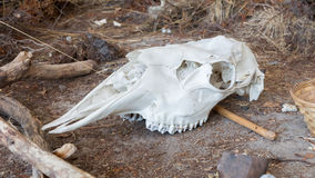 Bright white cow skull Stock Image