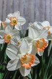 Bright White Daffodils with Coral Fringed Center Accent. Delicate bright white petals with coral or peach fringed center accent set against a weathered wood Stock Photo