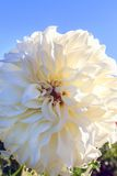 Bright white dahlia against blue sky Royalty Free Stock Images