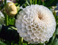 Bright white dahlia in field Royalty Free Stock Image