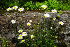Bright white daisy flowers blooming with yellow pollen and green leaves on the rock on sunshine day Stock Photo