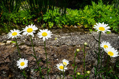 Bright white daisy flowers blooming with yellow pollen on the rock on sunshine day Stock Photography