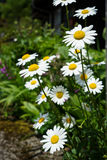 Bright white daisy flowers blooming with yellow pollen on street side among weeds on sunshine day Stock Photo