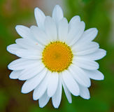 Bright white Daisy, white petals and yellow middle, Royalty Free Stock Photography