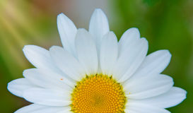 Bright white Daisy, white petals and yellow middle, Stock Image