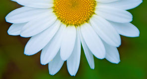Bright white Daisy, white petals and yellow middle, Royalty Free Stock Photo