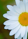 Bright white Daisy, white petals and yellow middle, Royalty Free Stock Images