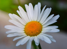 Bright white Daisy, white petals and yellow middle, Stock Images