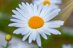 Bright white Daisy, white petals and yellow middle, Royalty Free Stock Photos