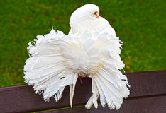 Bright white dove of peacock Stock Photos