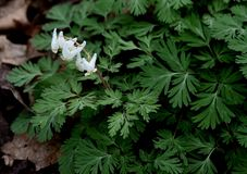 Bright white Dutchman`s breeches flowers and finely cut green leaves in a spring forest. Bright white Dutchman`s breeches, Dicentra cucullaria, flowers and Stock Images