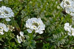 Bright white edging candytuft flowers. Selective focus - Iberis sempervirens stock image