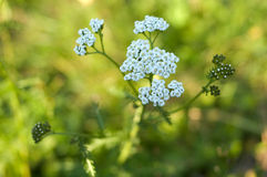 Bright white field flower (milfoil, yarrow). Royalty Free Stock Photography