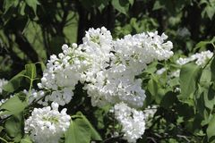 White lilacs blooming in the spring sunshine. Bright white flowers in full bloom.Dark green leaves in the background. Rochester, New York royalty free stock photography