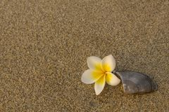 Bright white frangipani plumeria flower and a brown gray shell lie on the blurry yellow sand. natural surface texture stock photos