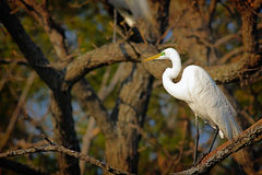 Bright White Heron Stock Photos