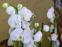 Bright white moth orchid flowers in closeup, popular flowers in horticulture from Asia. A Bright white moth orchid flowers in closeup, popular flowers in stock photo