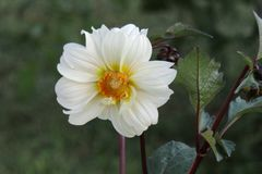 Bright White and Orange Dahlia Flower Closeup with Leaves and Green Muted Background stock image