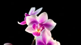 Bright white and pink orchid flowers on a dark background. The orchid phalaenopsis floating in the mist stock footage