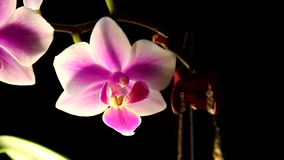 Bright white and pink orchid flowers on a dark background. The orchid phalaenopsis floating in the mist stock video footage