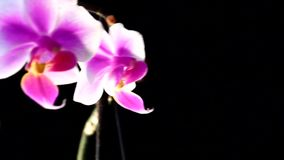 Bright white and pink orchid flowers on a dark background. The orchid phalaenopsis floating in the mist stock video