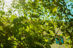 Bright White Sunlight Shining Through Green and Yellow Maple Leaves Against a Blue Sky Royalty Free Stock Image