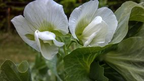 Bright White Sweet Pea Flowers stock photography