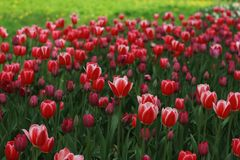 Bright white tulips on the background of bright grass royalty free stock images