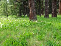 Meadow of wildflowers. Bright white wildflowers grow amongst the pine trees in a green field on a mountain on a spring day stock photos