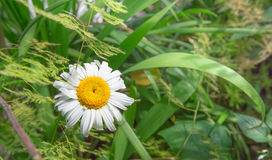 Bright White and Yellow Flower Royalty Free Stock Photos