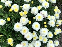 Bright white and yellow flowers in the city Park stock image
